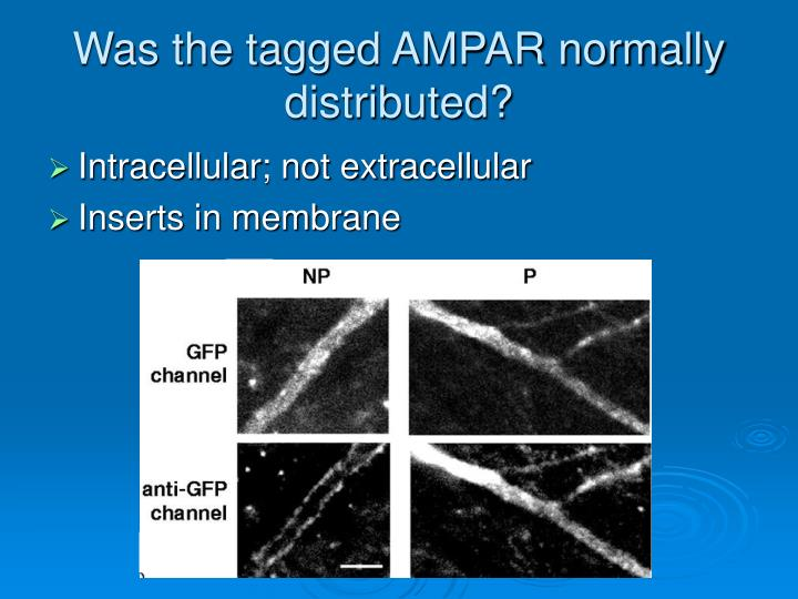 Was the tagged AMPAR normally distributed?