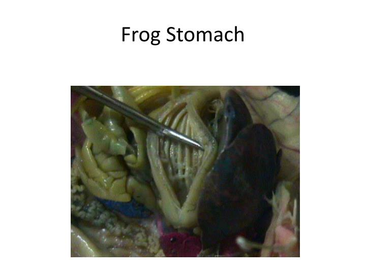 Frog Stomach