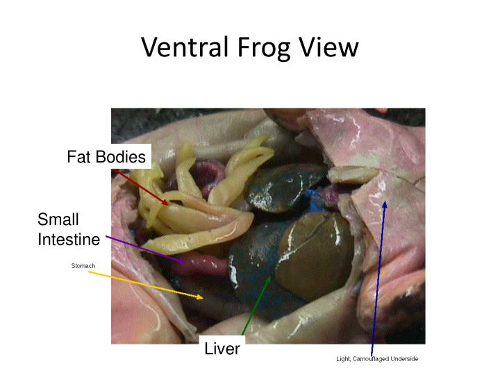 Ventral Frog View