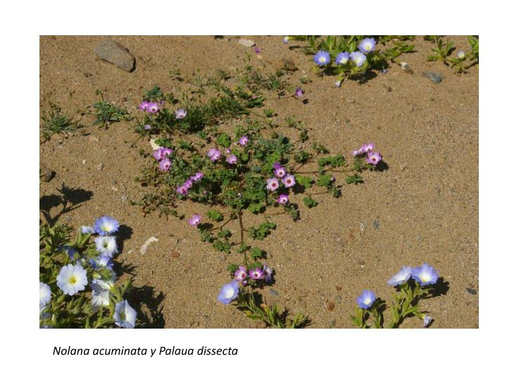 Nolana acuminata y Palaua dissecta