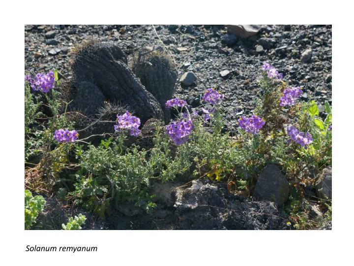 Solanum remyanum