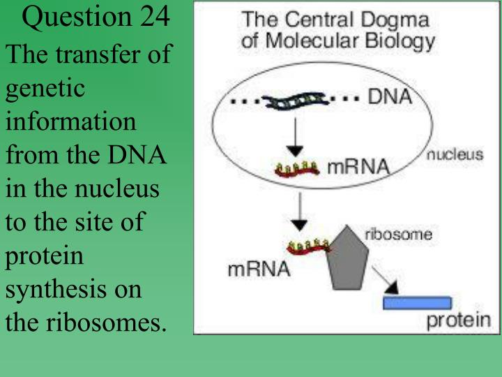 The transfer of genetic information from the DNA in the nucleus to the site of protein synthesis on the ribosomes.