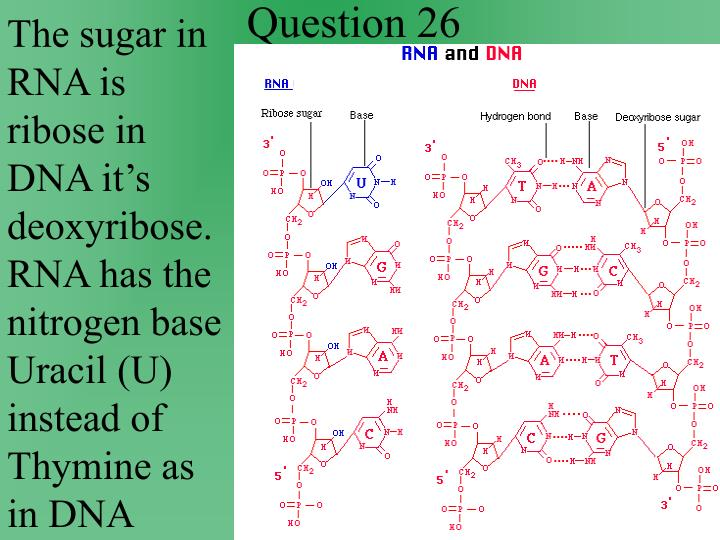 The sugar in RNA is ribose in DNA it's deoxyribose.  RNA has the nitrogen base Uracil (U) instead of Thymine as in DNA