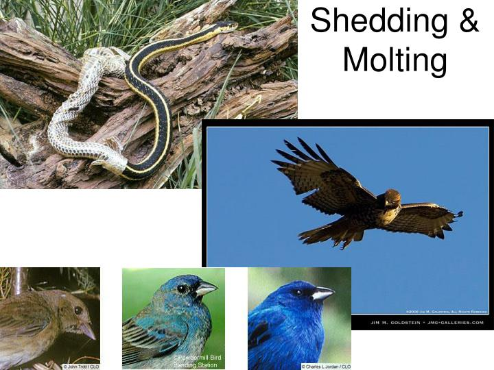 Shedding molting
