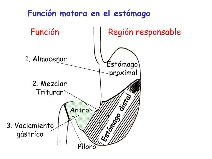 Función motora en el estómago