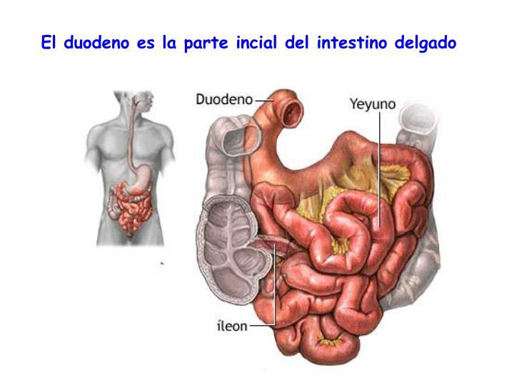 El duodeno es la parte incial del intestino delgado