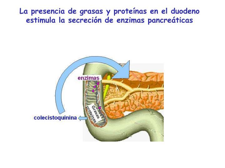 La presencia de grasas y proteínas en el duodeno estimula la secreción de enzimas pancreáticas