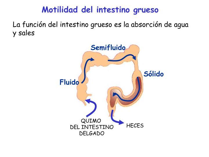 Motilidad del intestino grueso