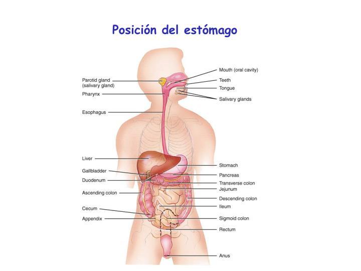 Posición del estómago