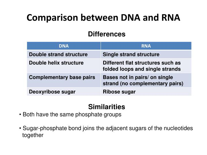 Comparison between DNA and RNA