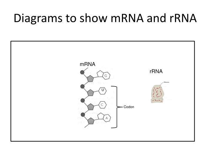 Diagrams to show mRNA and rRNA
