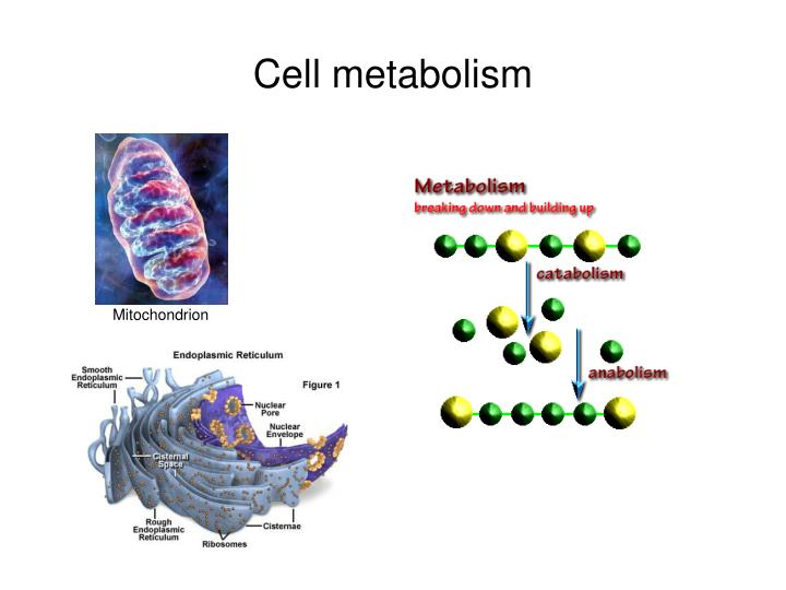Cell metabolism
