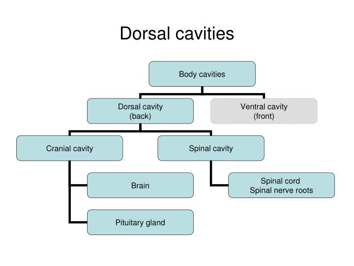 Dorsal cavities