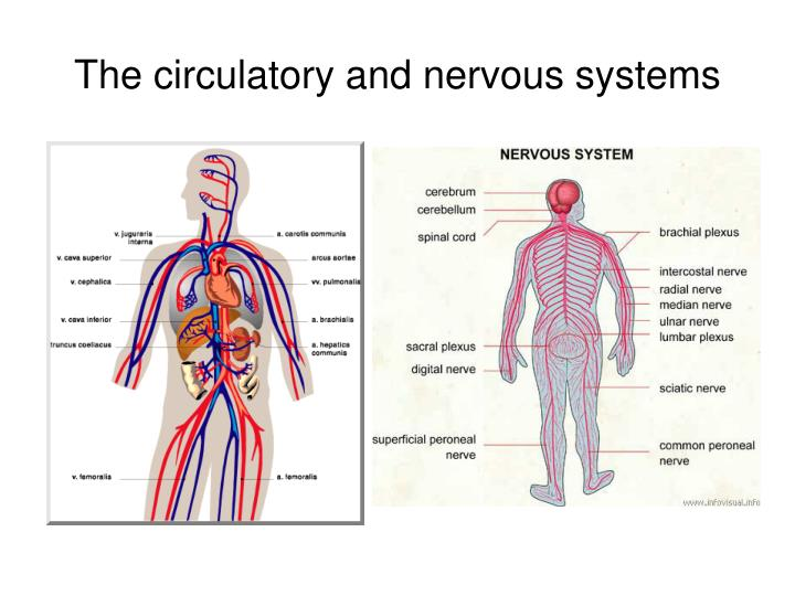 The circulatory and nervous systems