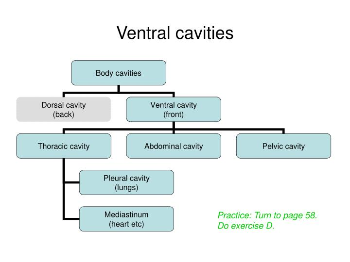 Ventral cavities