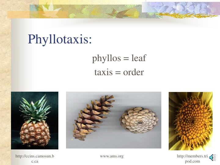 Phyllotaxis: