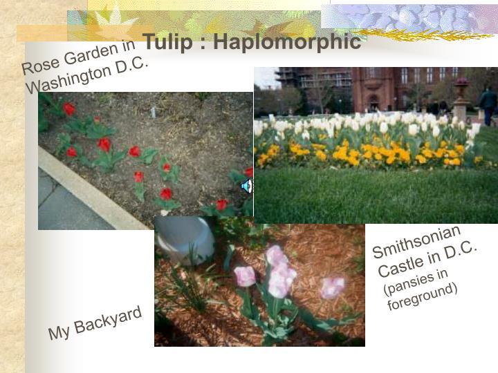 Tulip : Haplomorphic