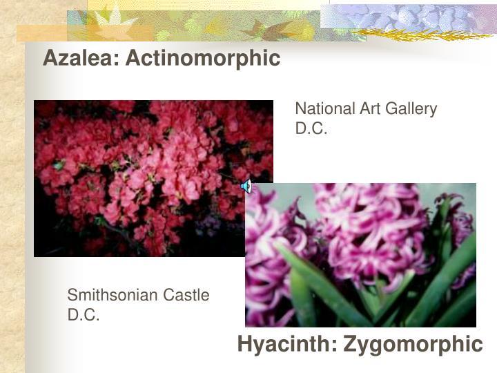 Azalea: Actinomorphic
