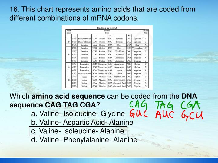 16. This chart represents amino acids that are coded from different combinations of mRNA codons.