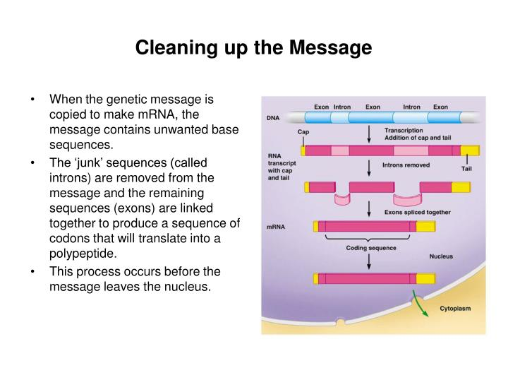 When the genetic message is copied to make mRNA, the message contains unwanted base sequences.