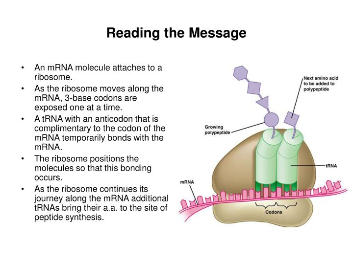 An mRNA molecule attaches to a ribosome.