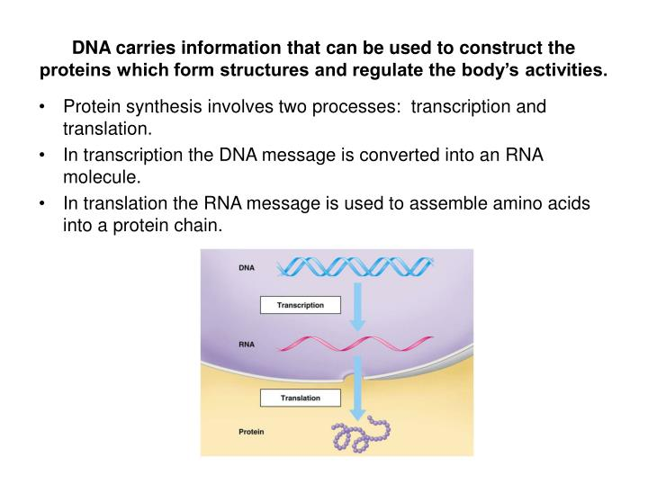 DNA carries information that can be used to construct the proteins which form structures and regulate the body's activities.