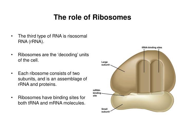 The third type of RNA is risosomal RNA (rRNA).