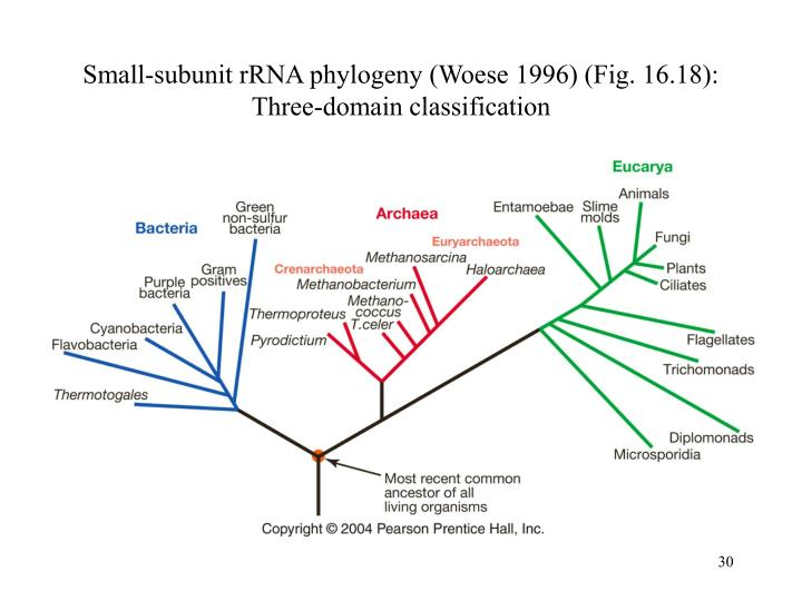 Small-subunit rRNA phylogeny (Woese 1996) (Fig. 16.18):