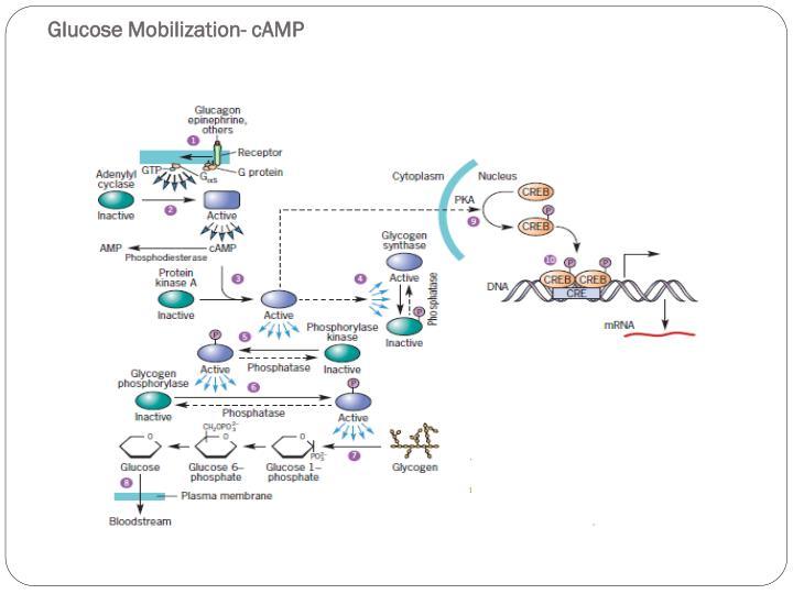 Glucose Mobilization-