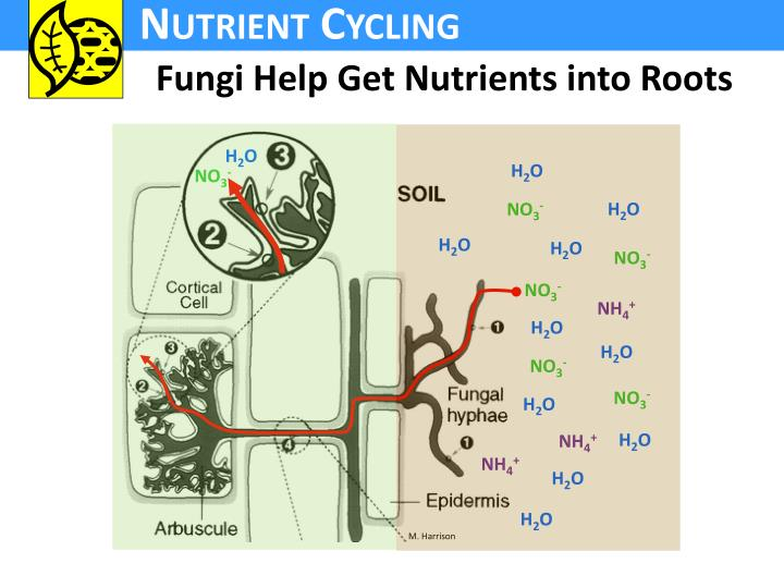 Fungi Help Get Nutrients into Roots