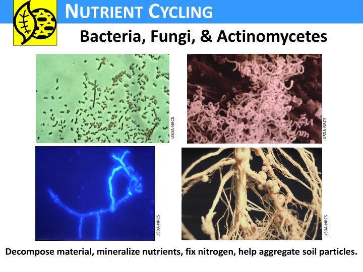 Bacteria, Fungi, & Actinomycetes