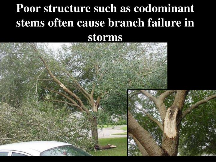 Poor structure such as codominant stems often cause branch failure in storms