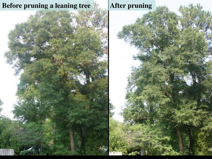 Before pruning a leaning tree