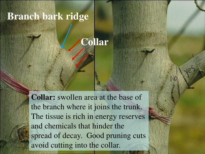 Branch bark ridge