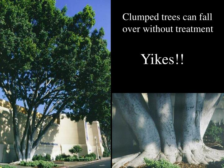 Clumped trees can fall over without treatment