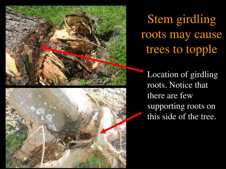 Stem girdling roots may cause trees to topple