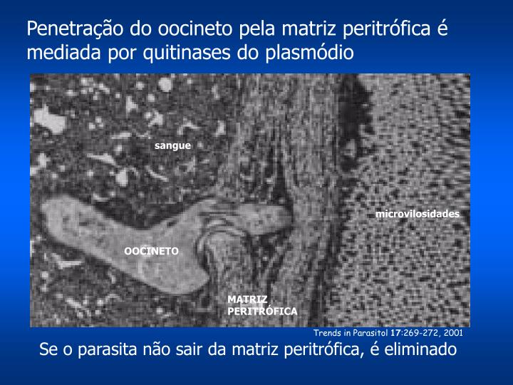 Penetração do oocineto pela matriz peritrófica é