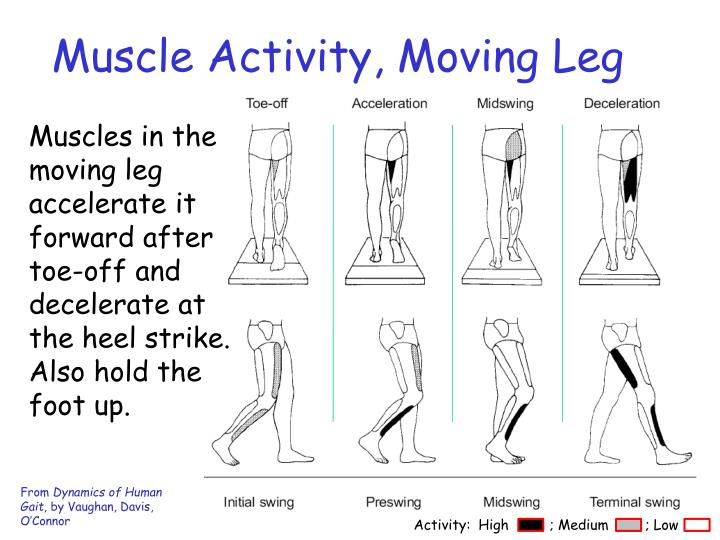 Muscle Activity, Moving Leg
