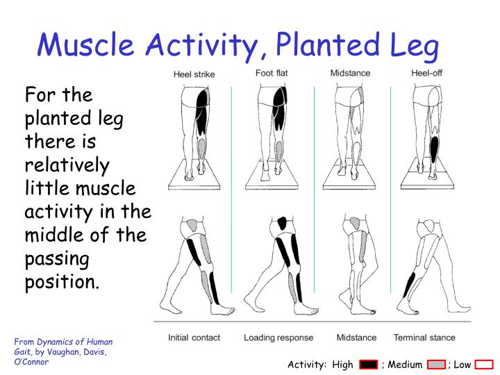 Muscle Activity, Planted Leg