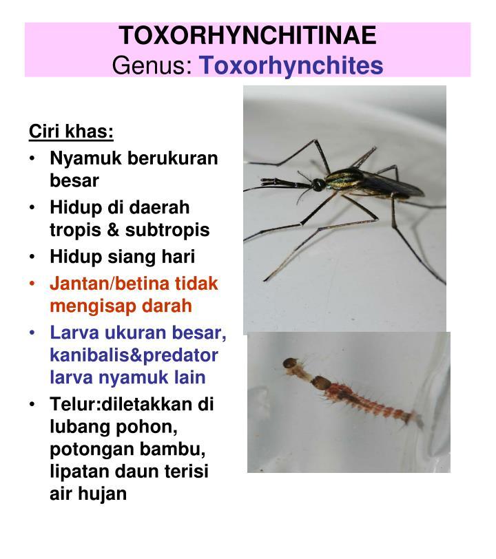 TOXORHYNCHITINAE