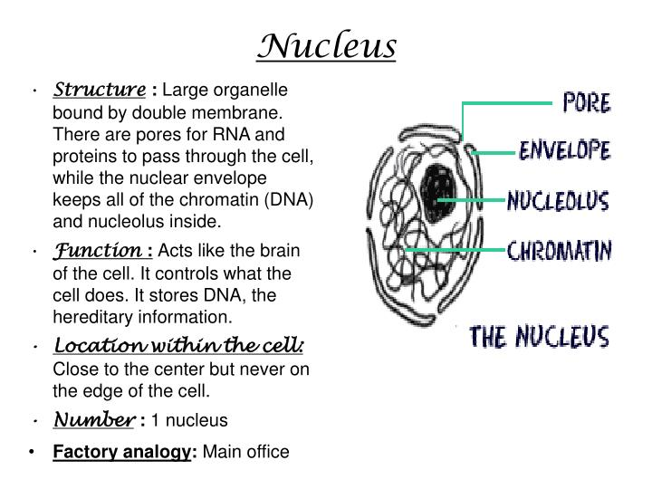 plant cell wall essay Cell wall cell wall is present only in plants, bacteria and fungi bacteria and fungi have cell wall made up of peptidoglycan while plants have a cell wall.