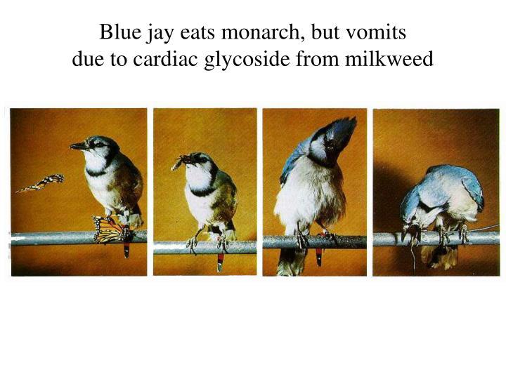Blue jay eats monarch, but vomits