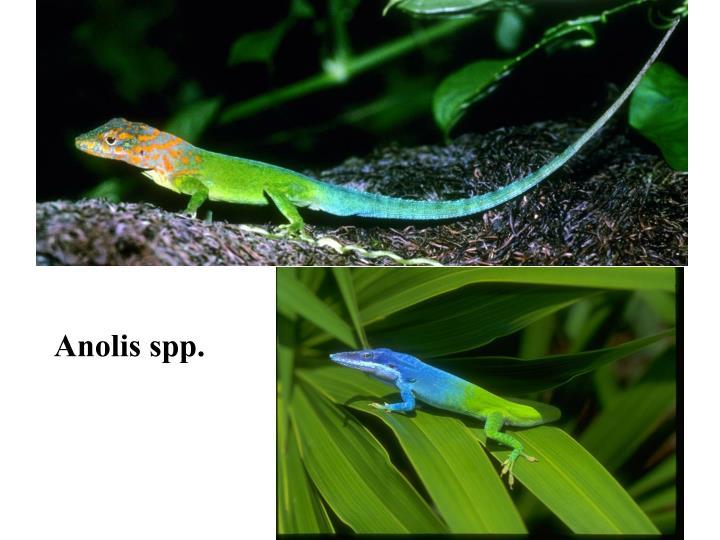 Anolis spp.