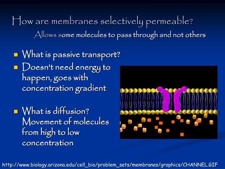 How are membranes selectively permeable