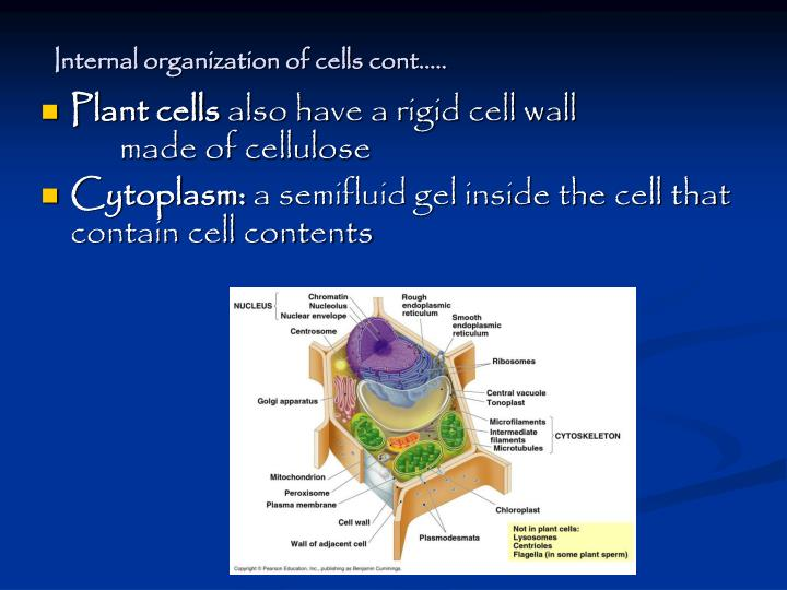Internal organization of cells cont…..