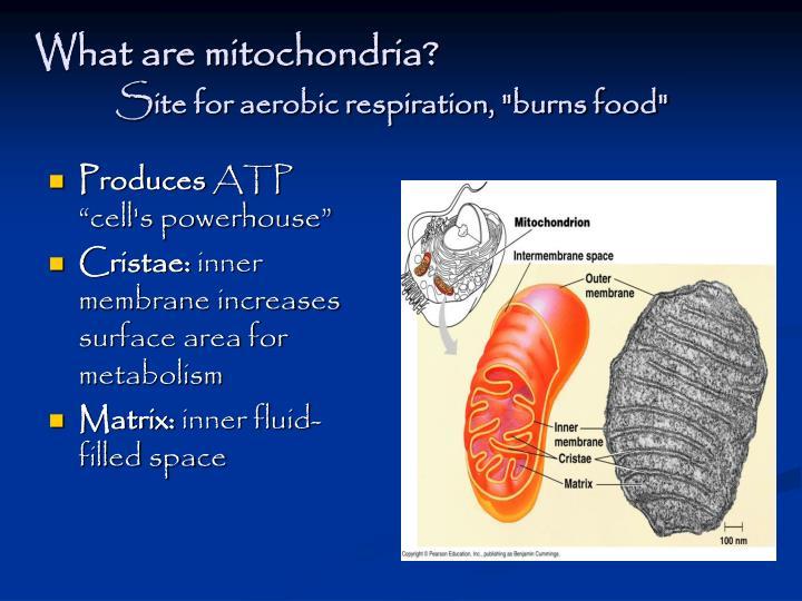 What are mitochondria?