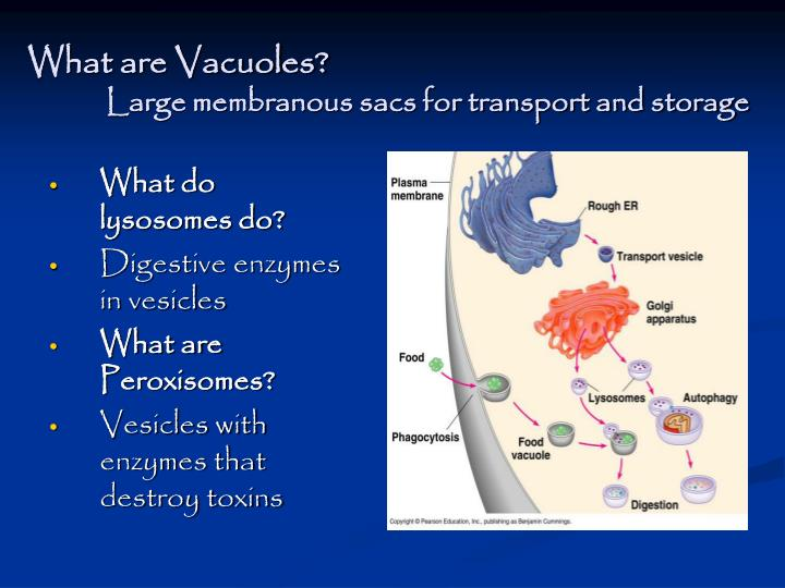 What are Vacuoles?
