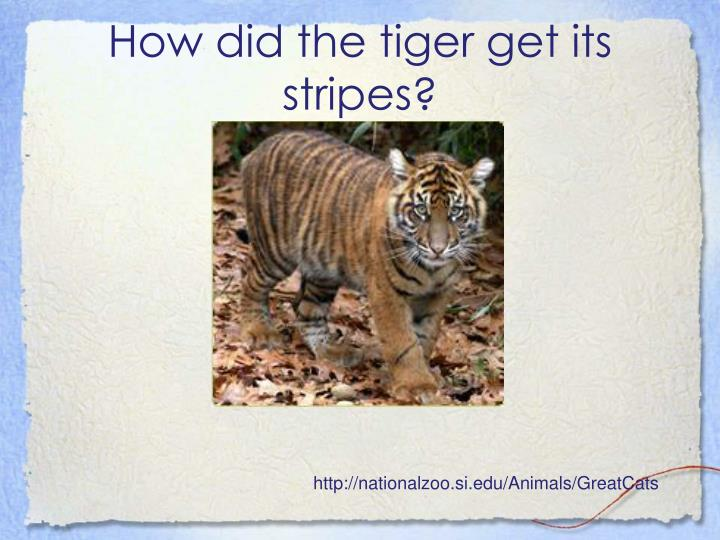 How did the tiger get its stripes