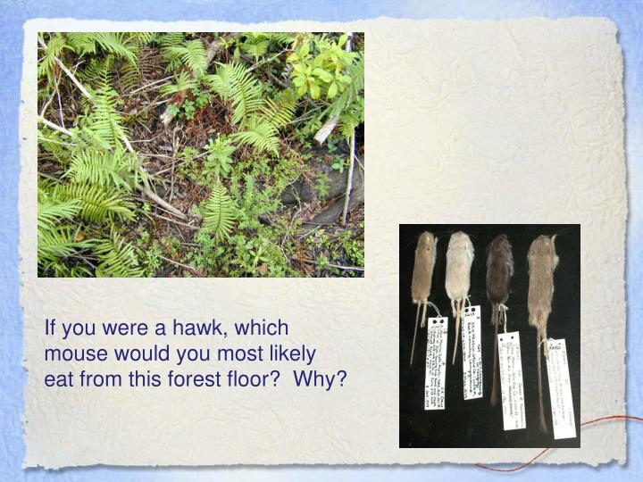 If you were a hawk, which mouse would you most likely  eat from this forest floor?  Why?