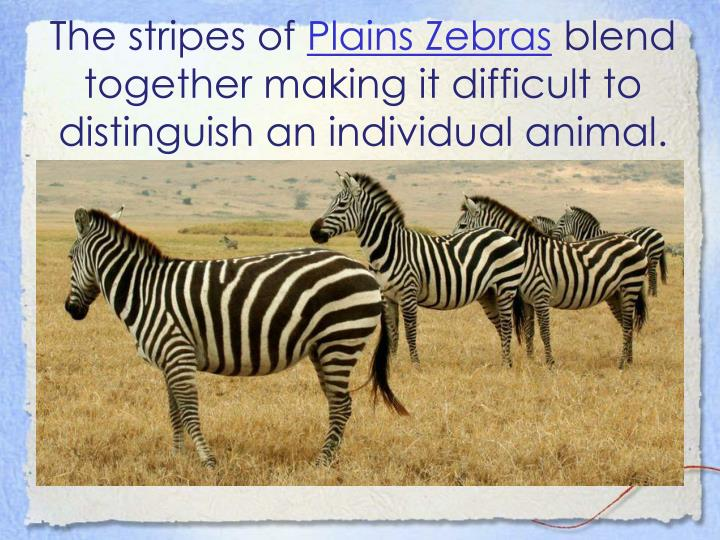 The stripes of